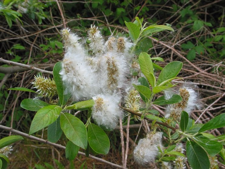 Tiny, fluffy grey willow seeds