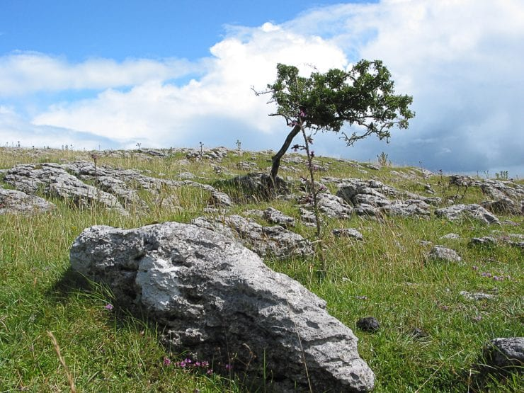 A lone hawthorn growing on limestone pavement