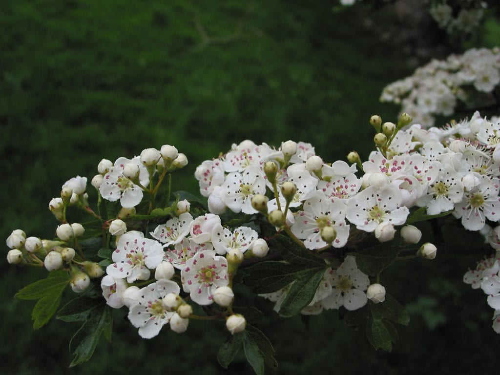 Hawthorn flowers on a branch