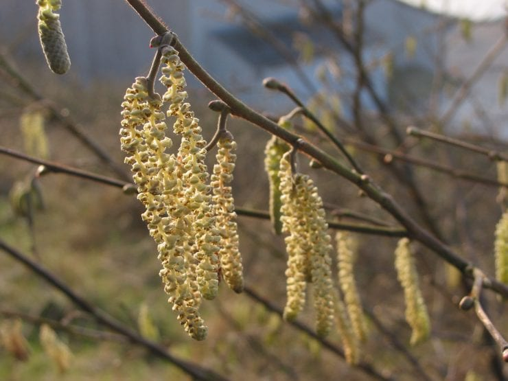 Male and female hazel flowers