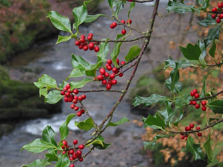 Holly berries on a branch over a river