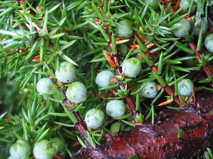 Juniper cones or 'berries'