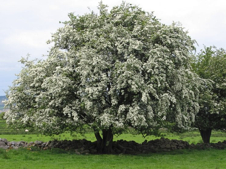 A single hawthorn in full flower