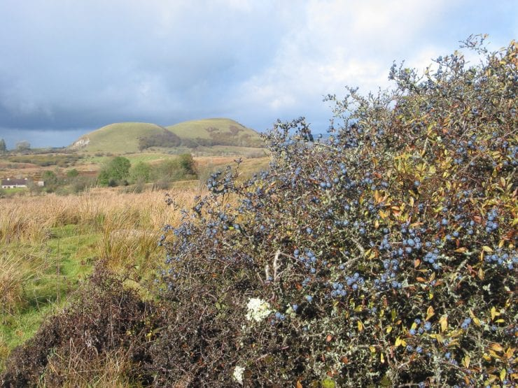 Blackthorn growing in a wild landscape