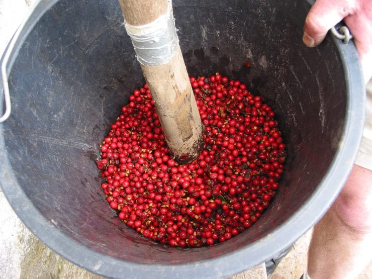 Mashing holly berries
