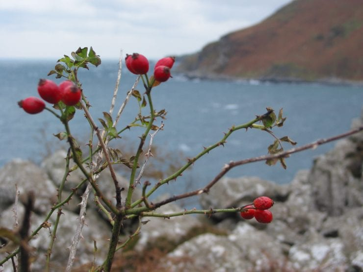 Dog rose fruits on a plant growing by the sea