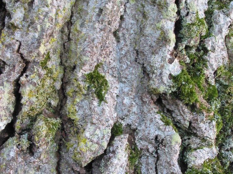 The fissured bark of a pedunculate oak