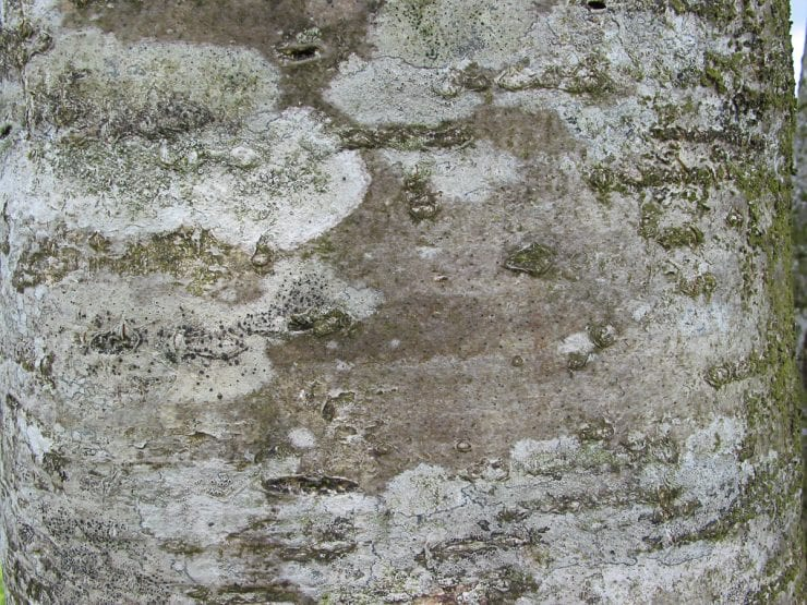 Bark of the rowan tree