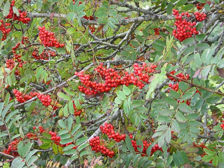 Bunches of rowan berries on a tree
