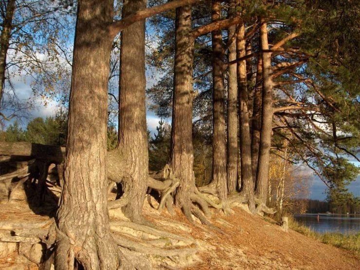 A group of Scots pine trees