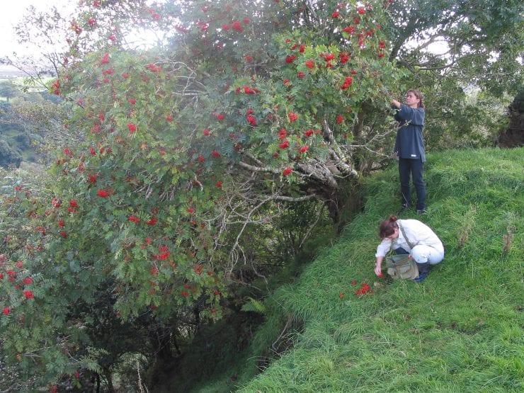 Collecting rowan berries from a rowan tree
