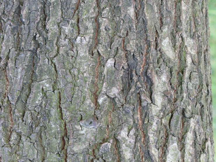 Bark of a sessile oak tree