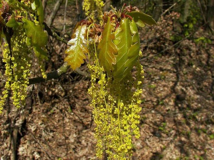Sessile oak flowers
