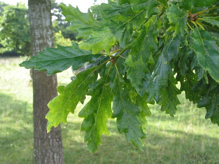 Leaves of the sessile oak