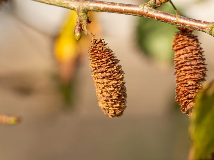 Silver birch seeds on the tree