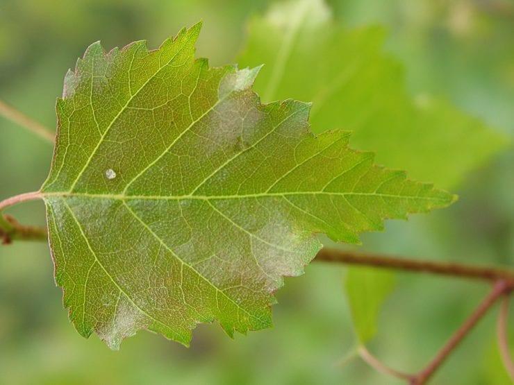 A silver birch leaf
