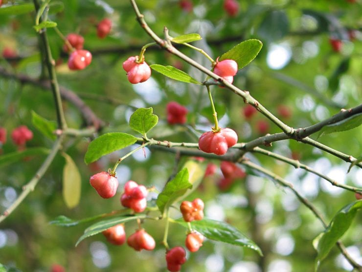 Spindle fruits on the tree