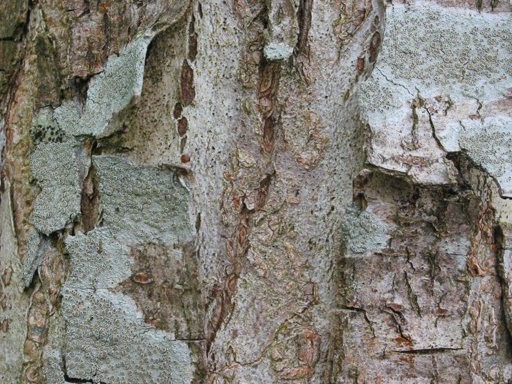 Wych elm bark