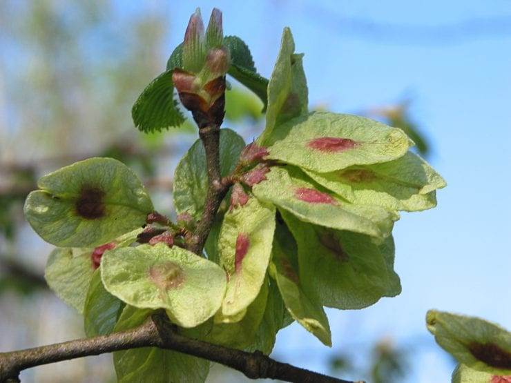 Developing wych elm seeds on a tree