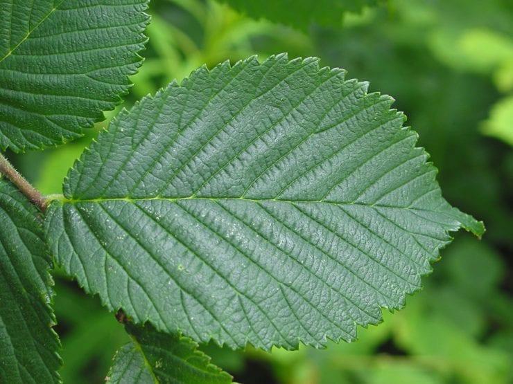 A wych elm leaf