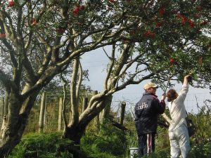 People collecting rowan berries straight from the tree